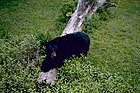 Louisiana black bear.jpg