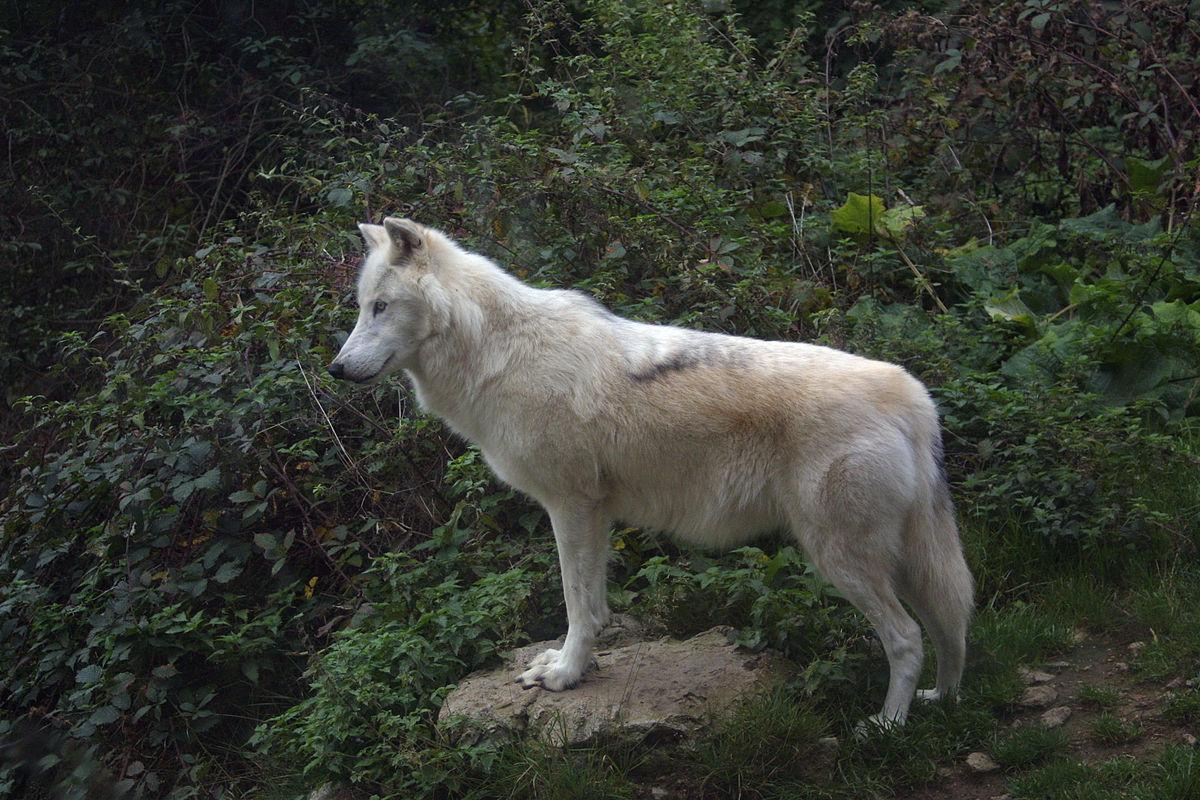 mackenzie river wolf