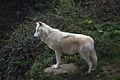 Loup du Canada (Canis lupus mackenzii).JPG
