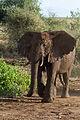 Loxodonta africana -Lake Manyara National Park, Tanzania-8c.jpg