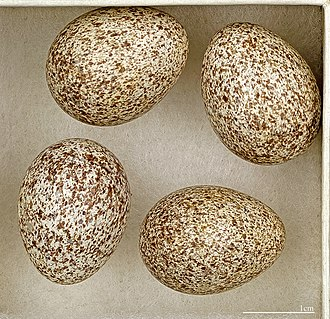 Woodlark - Four eggs, part of the collections at the Muséum de Toulouse