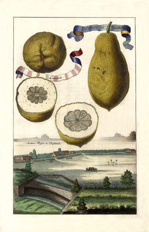 Lumia (citrus) - The Lumia by Johann Christoph Volkamer is described as a sweet lemon.