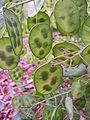 Lunaria annua seed pods.jpg