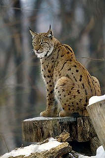 Eurasian lynx Small wild cat