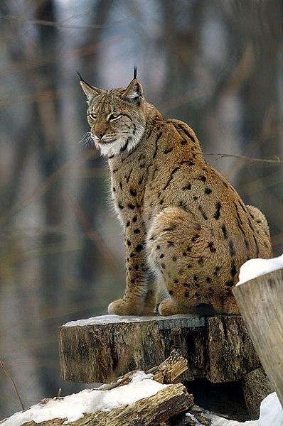 ファイル lynx lynx2 jpg wikipedia