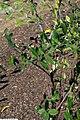 Lyonia lucida 1zz.jpg