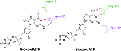 Examples of the protonation state exchange between MTH1 residues Asp-119 and Asp-120 that allows the enzyme to recognize oxidized nucleotides. For 8-oxo-dGTP, Asp-119 is the hydrogen bond donor and Asp-120 is the hydrogen bond acceptor. For 2-oxo-dATP, these protonation states switch, making Asp-119 the hydrogen bond acceptor and Asp-120 the hydrogen bond donor.