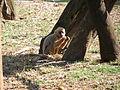 Macaco-prego-galego3.JPG
