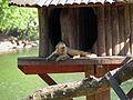 Macaco-prego-galego 1.jpg