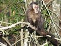 Macaco prego Manduri 060811 REFON 16.JPG