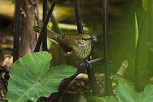 Madagascar Swamp Warbler - Madagascar S4E6923 (17142835078).jpg