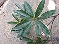 Madhuca longifolia-1-kalakkad-tirunelveli-India.jpg