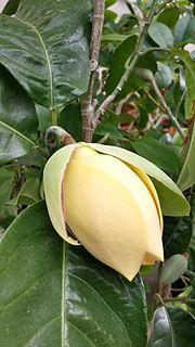 <i>Magnolia liliifera</i> species of plant