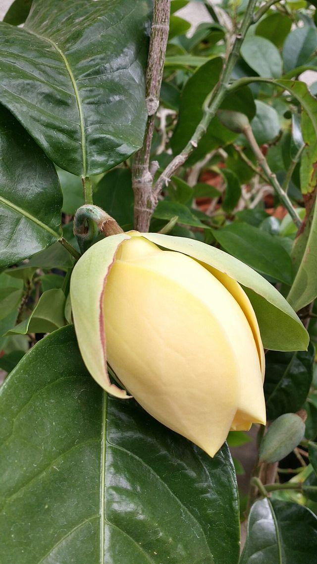 Magnolia liliifera - Wikiwand