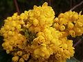 Mahonia aquifolium02.jpg