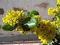 Mahonia aquifolium 1.JPG