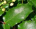 Mahonia pinnata ssp insularis 4.jpg