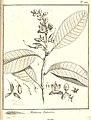 Mahurea palustris Aublet 1775 pl 222.jpg