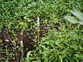 Malabar Chlorophytum (3977673544).jpg