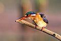 Malachite Kingfisher, Alcedo cristata at Marievale Nature Reserve, Gauteng, South Africa (21336013536).jpg