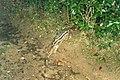 Malagasy Striped Civet (Fossa fossana) (3442061760).jpg