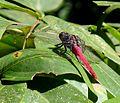 Male , Orthetrum pruinosum. - Flickr - gailhampshire.jpg