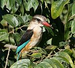 Male Brown-hooded Kingfisher (Halcyon albiventris) in Pigeonwood tree.jpg
