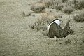 Male Greater Sage-Grouse (7094325839).jpg