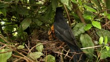 Fitxategi:Male Turdus merula feeding chicks.ogv