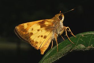 Zabulon skipper - Underside of the male