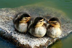 A trio of ducklings
