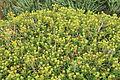 Malta - Mellieha - Triq il-Marfa - L-Inhawi tal-Ghadira - Euphorbia melitensis 01 ies.jpg