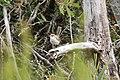 Malurus cyaneus (23383568429).jpg