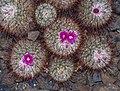 Mammillaria bombycina (70456).jpg