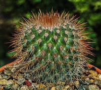 Mammillaria spinosissima by RO.jpg