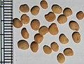 Mandragora autumnalis seeds, by Omar Hoftun.jpg