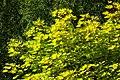 Maple leaves in Sämstad 1.jpg