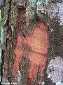 Maprounea guianensis, pinga-orvalho - Flickr - Tarciso Leão (6).jpg