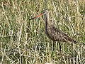 Marbled godwit on Seedskadee National Wildlife Refuge (34308765352).jpg