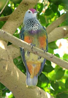 Mariana Fruit-dove2.jpg