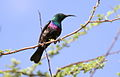 Marico sunbird, Cinnyris mariquensis (male) at Marakele National Park, Limpopo, South Africa (16115004759).jpg