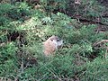 Marmot at Saint Helen's Island in Montreal 07.jpg