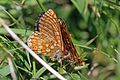 Marsh fritillaries (Euphydryas aurinia) courting.jpg