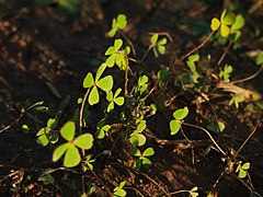 Marsilea leaves.jpg