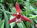 Maxillaria tenuifolia - coconut orchid - desc-flower - from-DC1.jpg