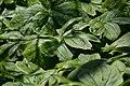 Mayapple (Podophyllum peltatum) - Mississauga, Ontario 2015-05-14.jpg