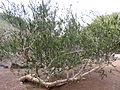 Melaleuca nesophila kz1.JPG