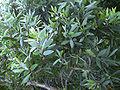 Melaleuca quinquenervia1.jpg