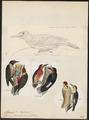 Melanerpes portoricensis - 1700-1880 - Print - Iconographia Zoologica - Special Collections University of Amsterdam - UBA01 IZ18700407.tif