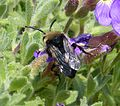 Melecta albifrons. Common Mourning Bee - Flickr - gailhampshire (7).jpg
